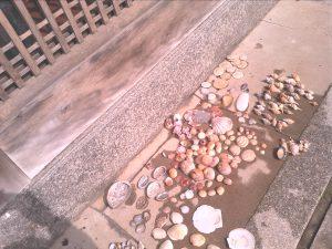 津屋崎葉まで拾った貝殻