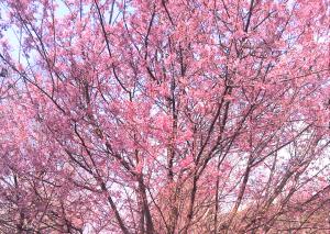 宮地嶽神社の早咲きの桜