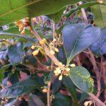 花祭窯の縁側-金木犀。