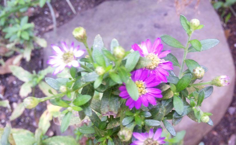 花祭窯の縁側-ノコンギク。