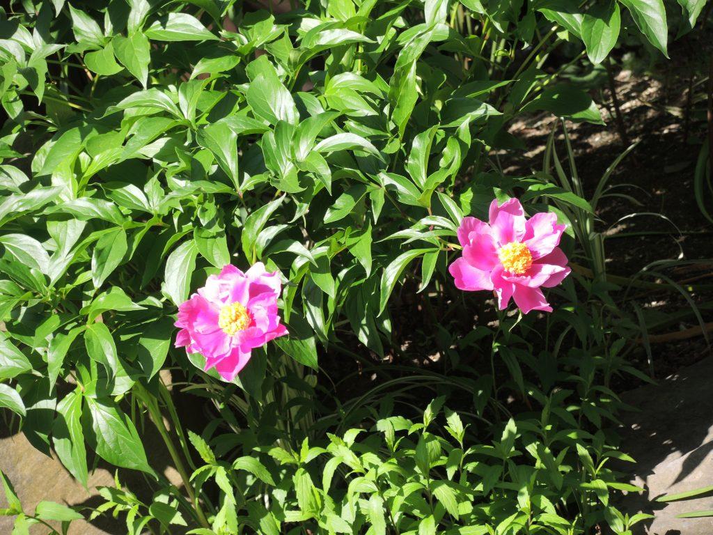 花祭窯 芍薬