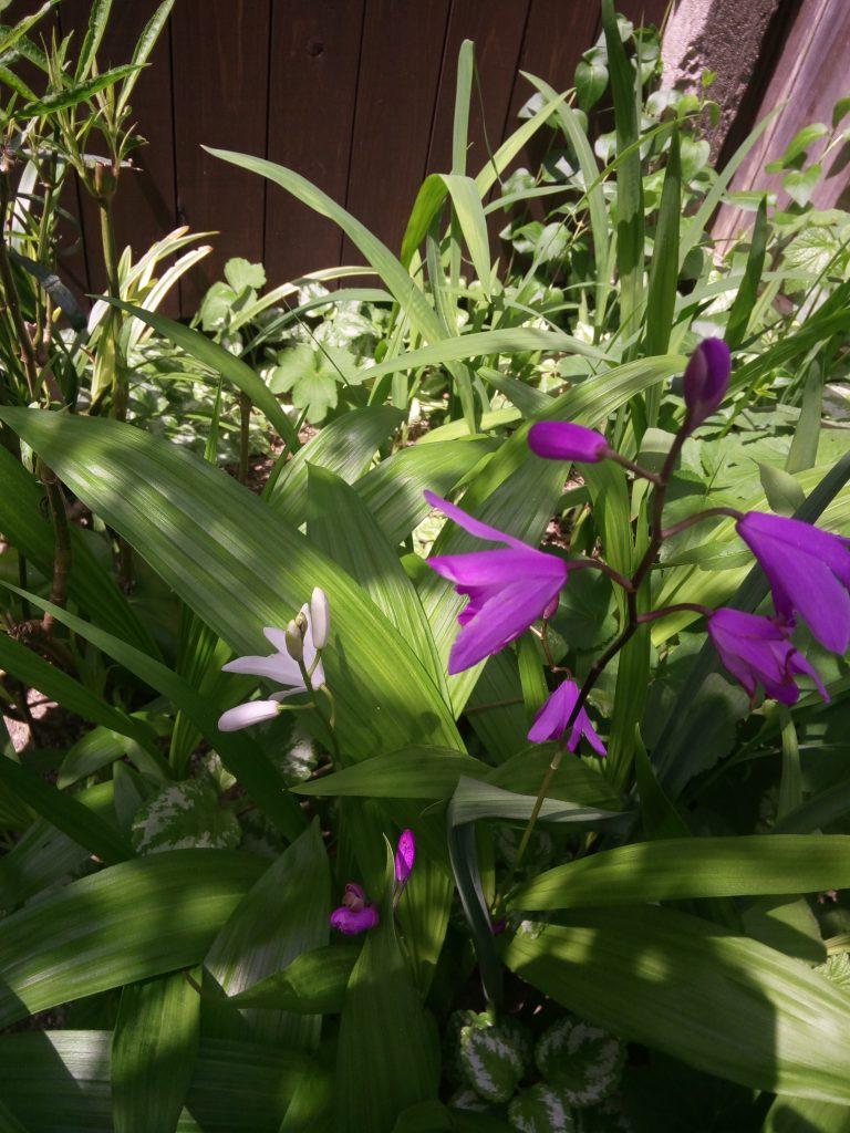 花祭窯 紫蘭