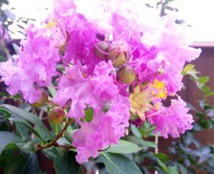 花祭窯 サルスベリ