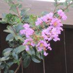 花祭窯の、夏の花。