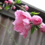 花祭窯の春の庭。