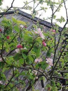 年々大きくなるご近所のリンゴの木。