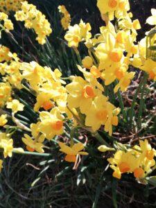 花祭窯の二月の庭水仙